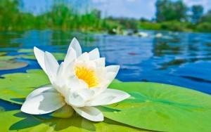 lotus warter