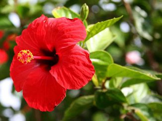Hibiscus_website