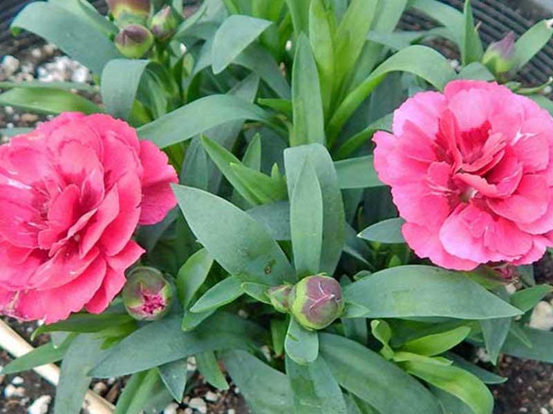 Carnation-pic