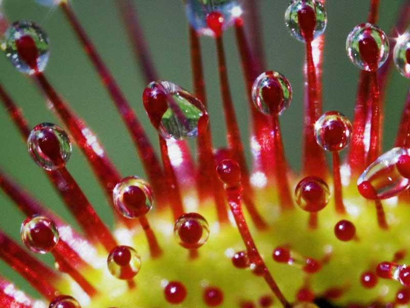 Drosera-flowers-pic