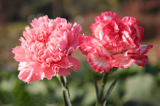 carnation inter