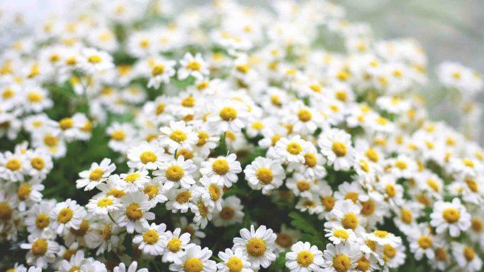 daisies-flowers-inter