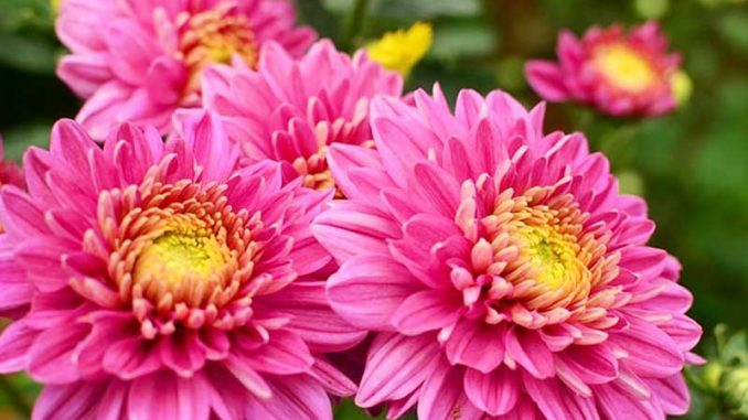 chrysanthemum-pic