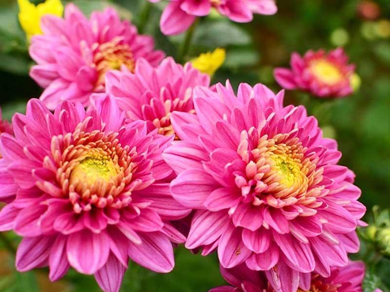 chrysanthemum-pic