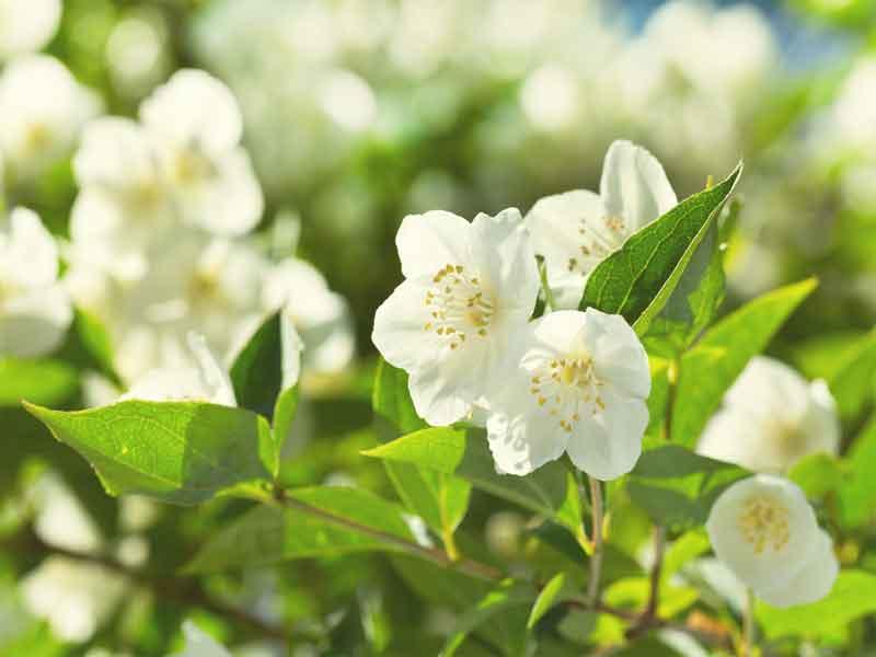news-Jasmine-site