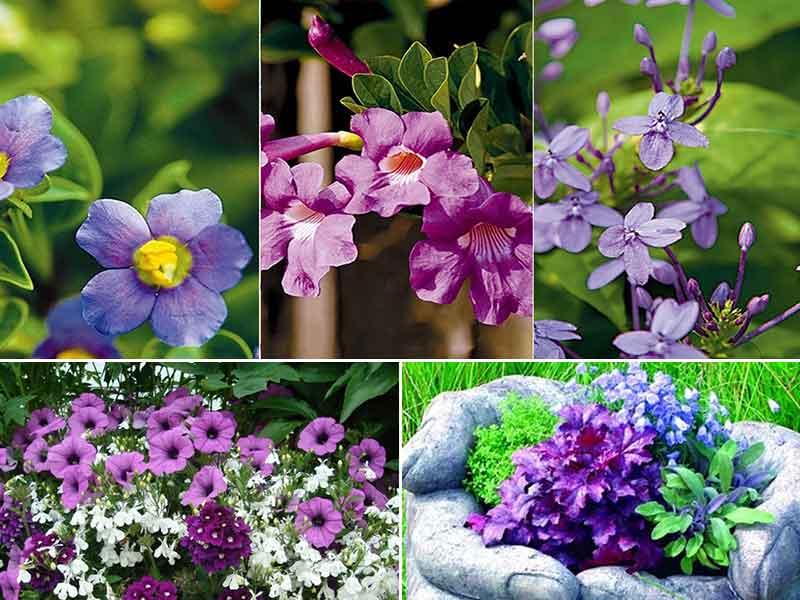 Purple-Flowering-Tree
