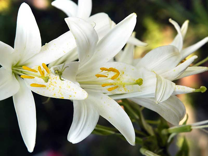 Lily-flower