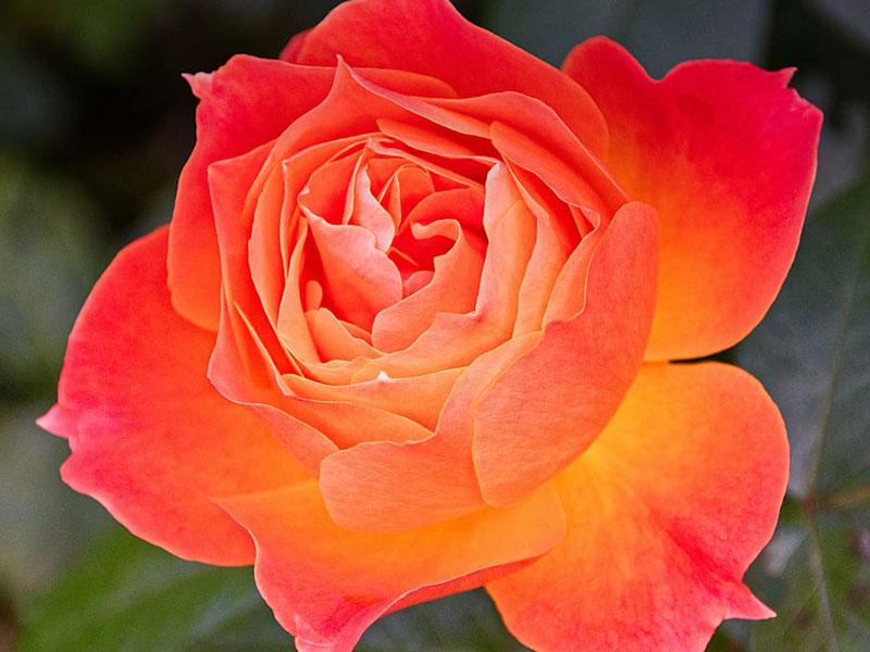 rose-name